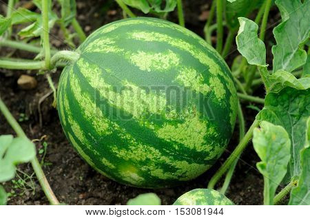ripening striped green water-melon on a melon field