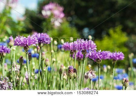 Blooming Cornflowers Centaurea cyanus in a field