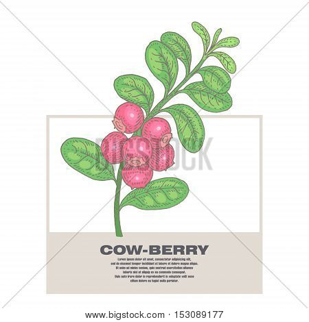 Cow-berry. Illustration of medical herbs. Isolated image on white background. Vector.