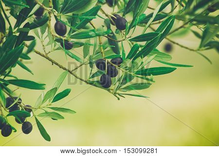 Branch of olive tree with fruits and leaves, natural agricultural vintage hipster food background