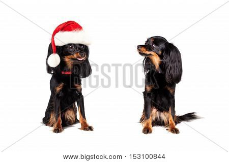 Christmas Dog in Santa Hat teased Little Dog Isolated on White Background