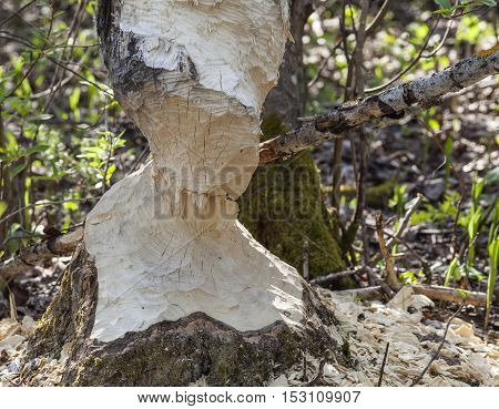 Trees in wood gnawed by beavers. Closeup, macro of the result by its teeth.