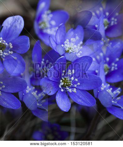 some blue anemones, liverleaves or hepatica nobili