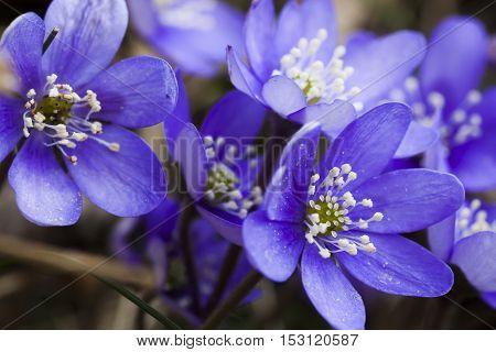 blue anemones or liverleaf (hepatica nobili )