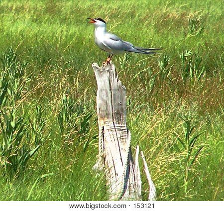 Happy Tern
