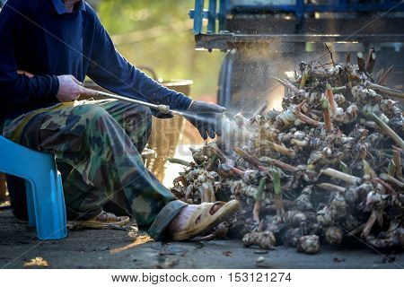Galangal clean food, farmers with high-pressure cleaning.