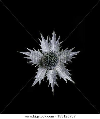 Single eryngium flower common name sea holly isolated on black background