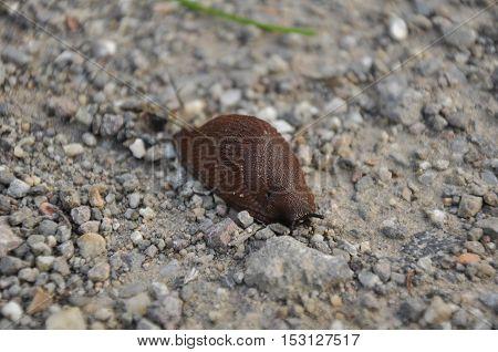 The Spanish slug(Arion vulgaris)a terrestrial pulmonate gastropod mollusk
