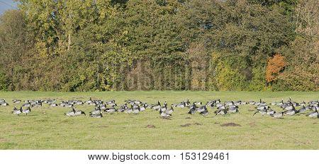 White cheek geese or also nun's goose