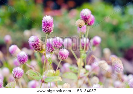 Globe Amaranth Flower With Selective Focus And Blurred Background