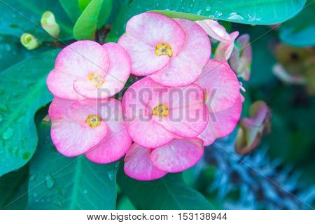 Pink euphorbia milii flowers blooming Christ thorn