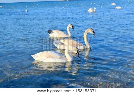 In the foreground, the sea, floating next to each other, the three swan