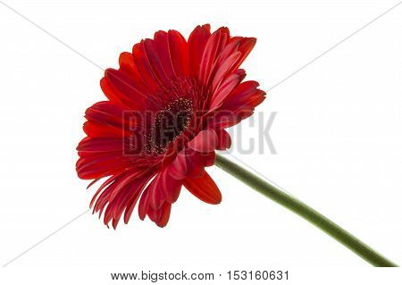 close up of red gerbera isolated over white