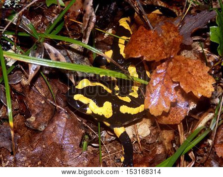 Fire Salamander (Salamandra salamandra) coming out from under autumn leaves on the forest floor
