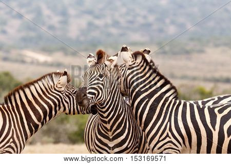 Two Zebras Kissing Behind The Other Zebra