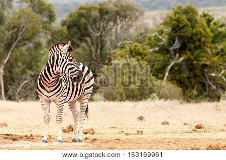 Zebra Looking Over His Shoulder