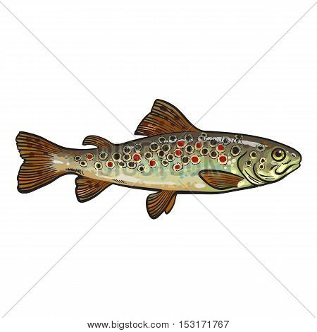 Hand drawn rainbow trout, sketch style vector illustration isolated on white background. Colorful realistic drawing of a trout, edible marine fish