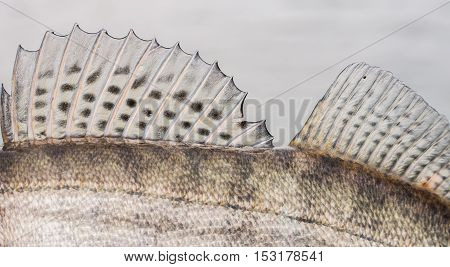Zander Fish Scales and Fin Background. Close up. Fishing