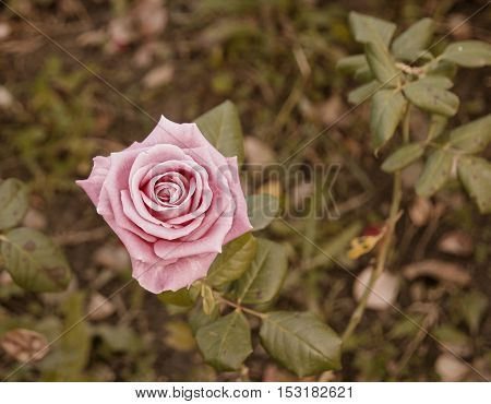 Lonely pink rose in garen top view, autumn season. Drying rose with a lot of copyspace.