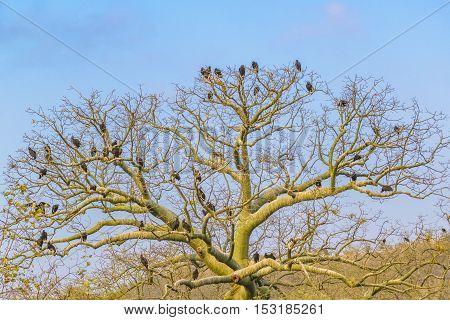 Black Vultures At Top Of Tree Guayas Ecuador