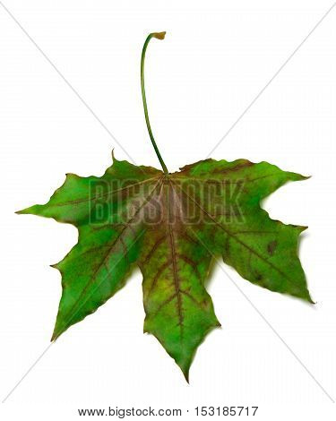Multicolor maple-leaf. Isolated on white background .