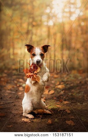 Dog keeps paws yellow leaf. Obedient Jack Russell Terrier in the autumn in the park outdoors