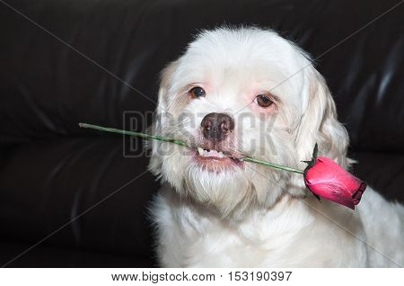 Romantic dog holding a rose with a very cute look and teeth out. To show love and affection to your pet.