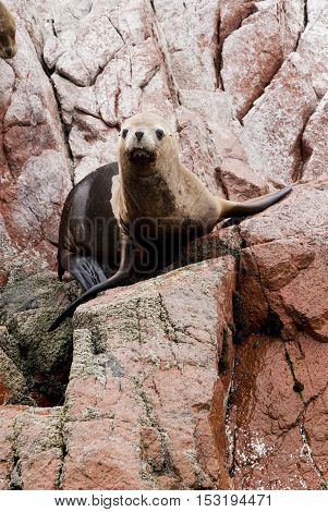 Colony Of South American Sea Lion On The Stony Ballestas Island - Otaria flavescens - Ballestas Islands Nature Reserve - Peru