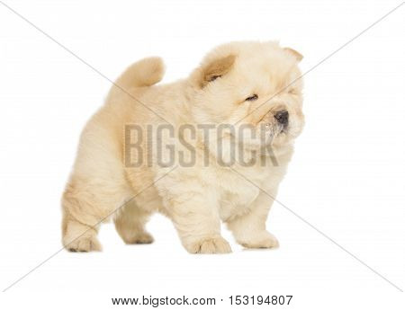 Chow-chow Puppy