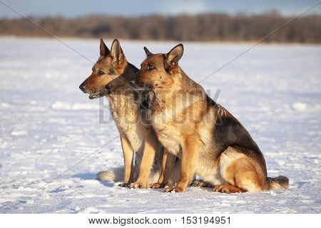 German Sheepdogs Sitting On The Snow