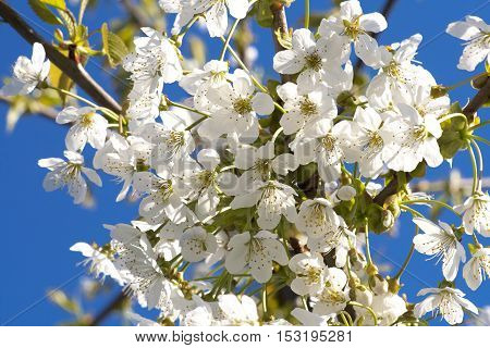 closeup of a beautiful spring apple tree against blue sky