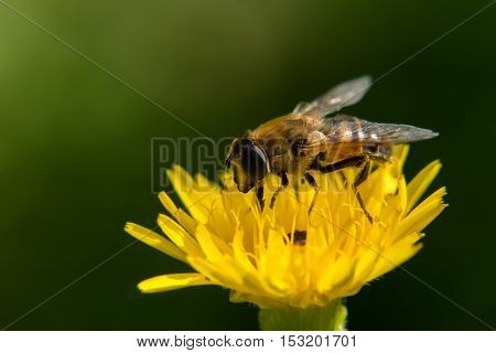 A Bee collecting nectar on a yellow flower