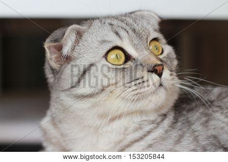 scottish fold silver tabby cat look, cute