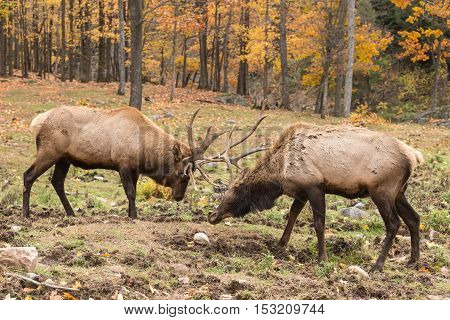 Two red deer in a fight in a fall forest setting