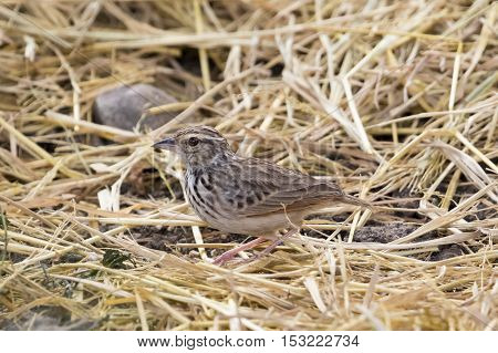 Image of bird in nature Lanceolated Warbler (Locustella lanceolata)