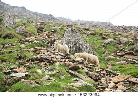 Sheep on the side of Mt Snowdon in Wales.