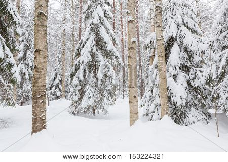 Trees in snow covered forest at winter
