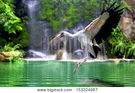 Mycteria bird flying at waterfall in day light