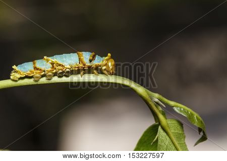 Last Instar Caterpillar Of Banded Swallowtail Butterfly (papilio Demolion)