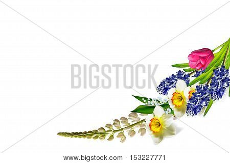 spring flowers narcissus isolated on white background. tulip
