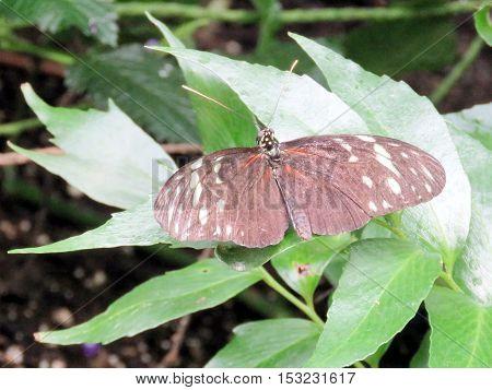 Hecale Longwing Butterfly in garden of Niagara Falls Canada July 16 2016