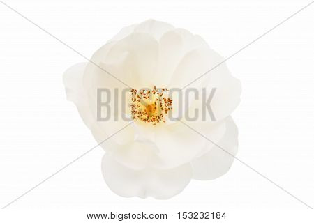white rose flower isolated on white background