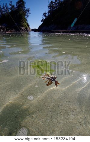 Seaweed floats in the foreground of a wide angle shot of the rising sea between two islands in British Columbia. The sun glints off of the clear water above the sand.