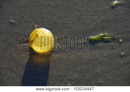 A small kelp bulb sits on a wet sandy beach backlit by the late afternoon sun.