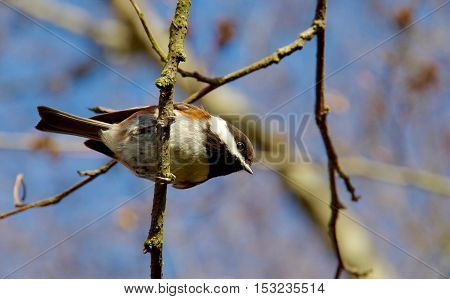 A Chickadee is seen from below perched on a twig looking down and illuminated by the winter sun.