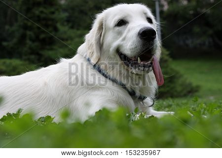 Golden retriever take rest after playing in garden