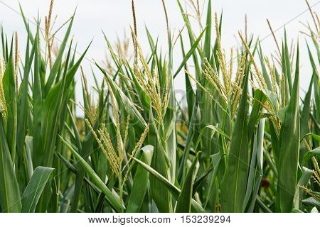Agriculture / Corn field / corn silage