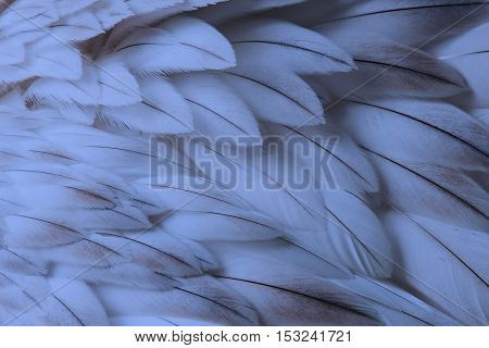 Blue fluffy feather closeup - Selective focus on some feathers poster