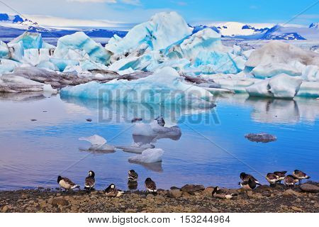 Drifting ice floes and flying geese are reflected in an ocean lagoon. Yokulsarlon Glacial Lagoon in Iceland