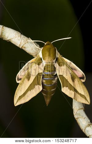 Spurge hawk moth Hyles euphorbiae resting on the plant